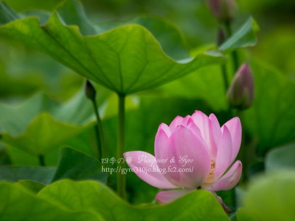 蓮の花 E