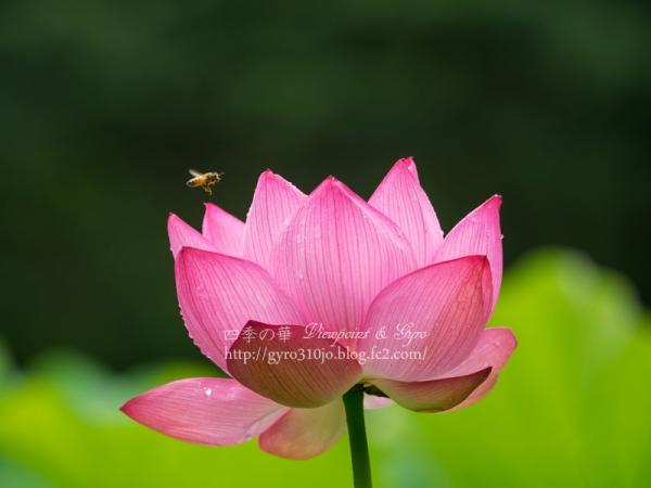 蓮の花 C