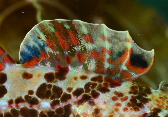 オビアナハゼの背鰭