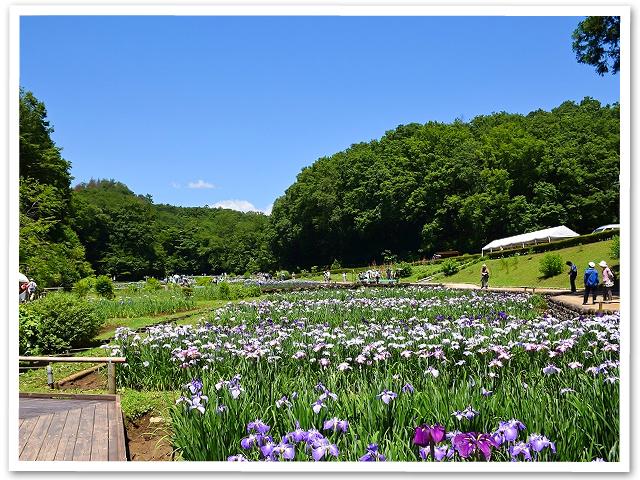 花菖蒲☆吹上しょうぶ公園