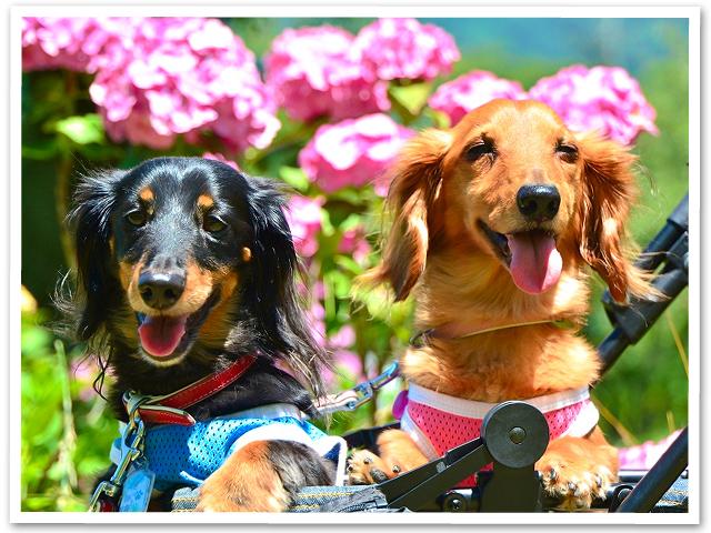 紫陽花☆美の山公園