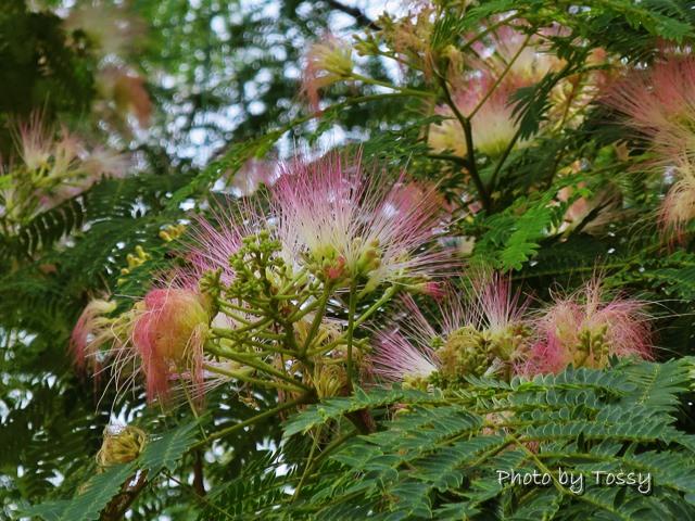 ねむの木の花