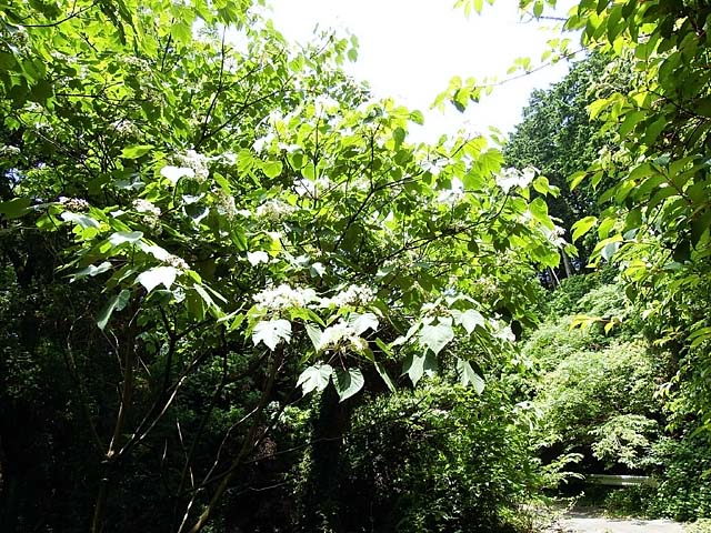 日本油桐(にっぽんあぶらぎり)(131598 byte)