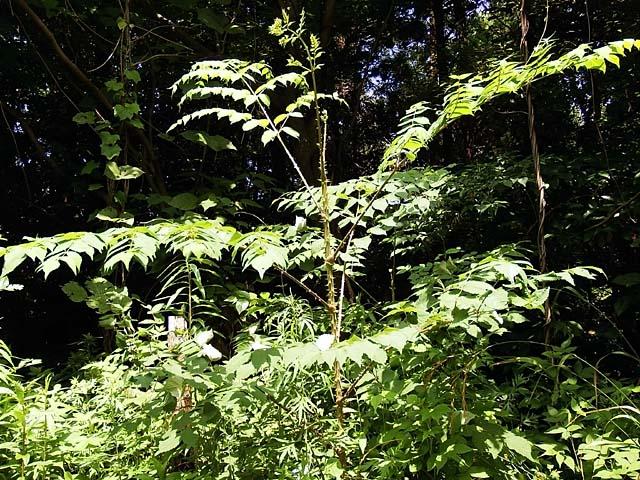タラの木(124602 byte)