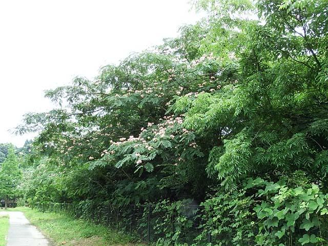合歓の木(ねむのき)(104422 byte)