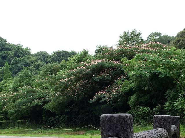 合歓の木(ねむのき)(73239 byte)