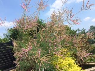 夏の背の高い花-2
