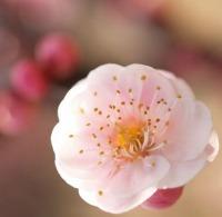 ★200ピンクの梅