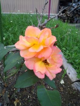 20150620アンネのバラ