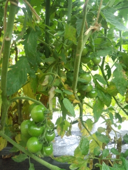 20150701ミニトマト