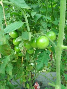 20150705トマト