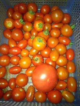 20150723収穫