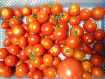 20150728トマトの収穫