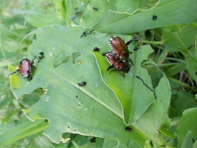 Beetles 20150730