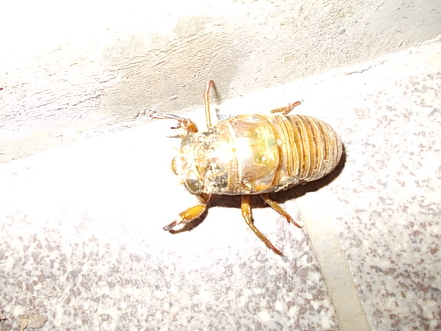 Cicada 20150723