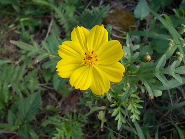 Yellow cosmos 20150724