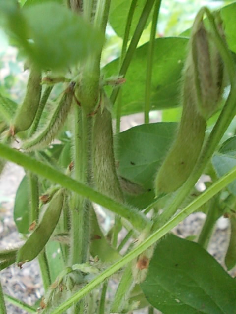 Edamame soybean 20150807
