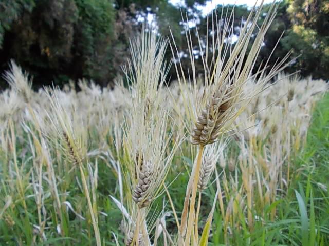Ichibanboshi barley 20150604-3