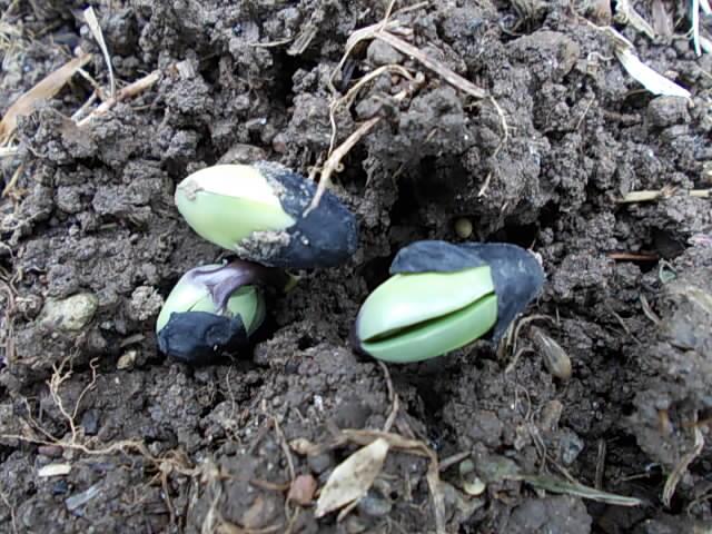 Kurodamaru soybean 20150707