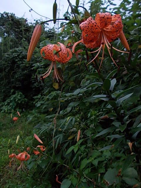 Oniyuri lily 20150711