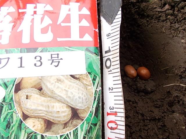 Peanut 'Java 13' 20150625-2