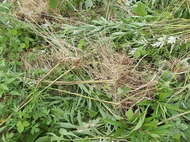 Seitakaawadachisou weed 20150716-2