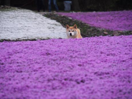 柴犬さくらと芝桜