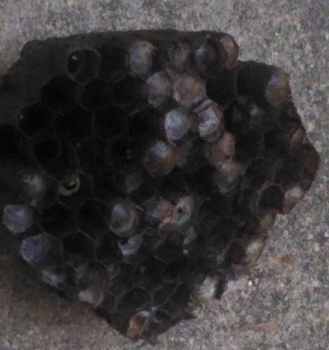 平成27年8月3日蜂の巣