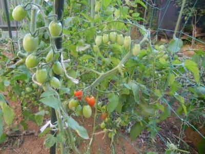 トマトが実り始めた