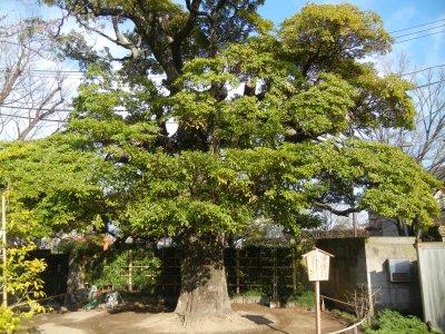 タブノキ・江戸川区保護樹