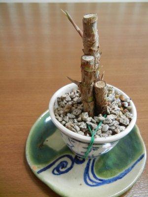 ミニドラセナinぐい呑み鉢