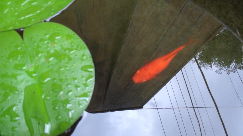 睡蓮鉢と金魚03