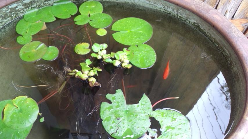 睡蓮鉢と金魚02