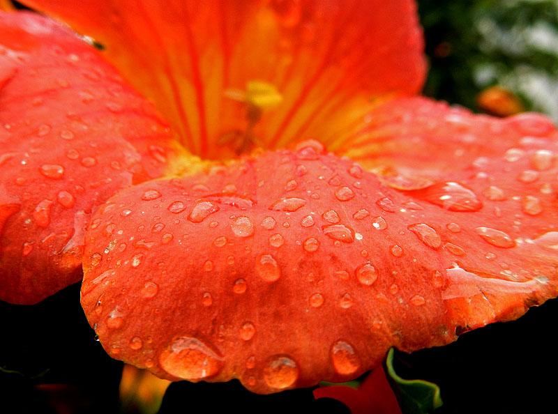 150627花と雨粒4