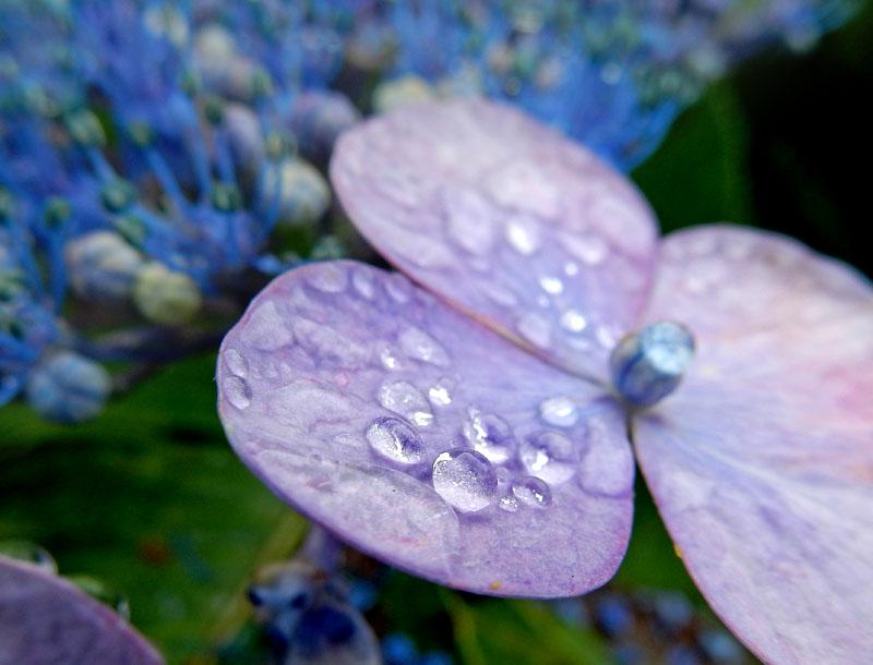 150627花と雨粒5