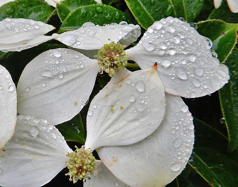 150627花と雨粒6