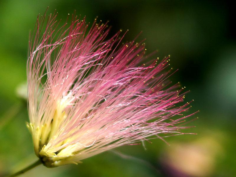 150719ネムの花1