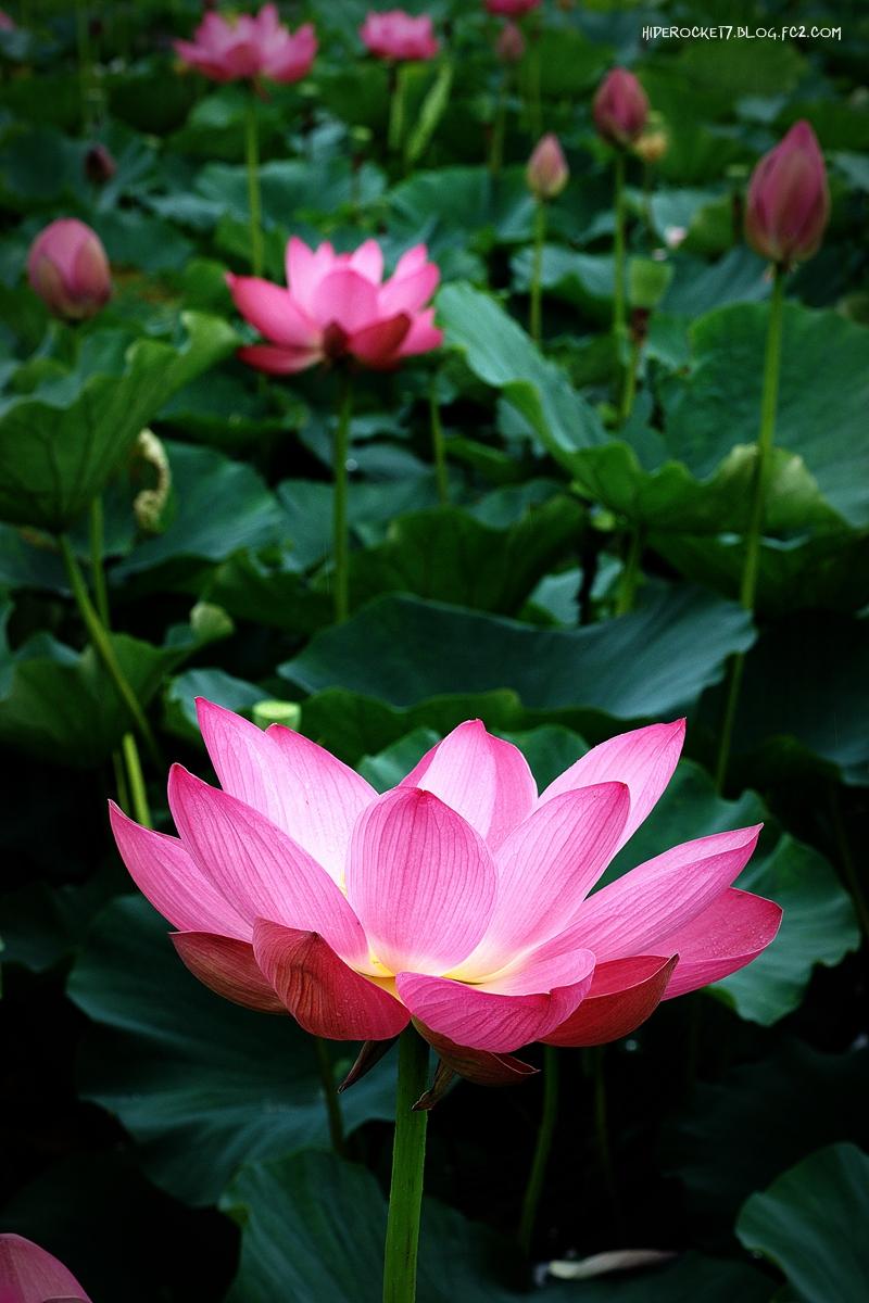 lotus-2015-03-800.jpg