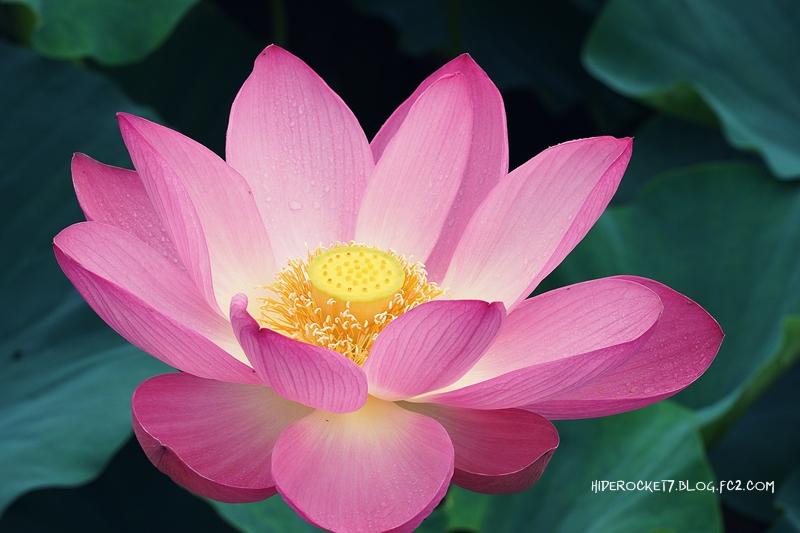 lotus-2015-800.jpg