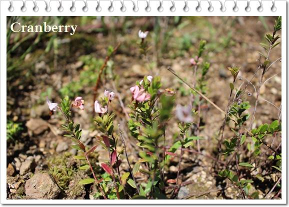 Cranberryのお花♪