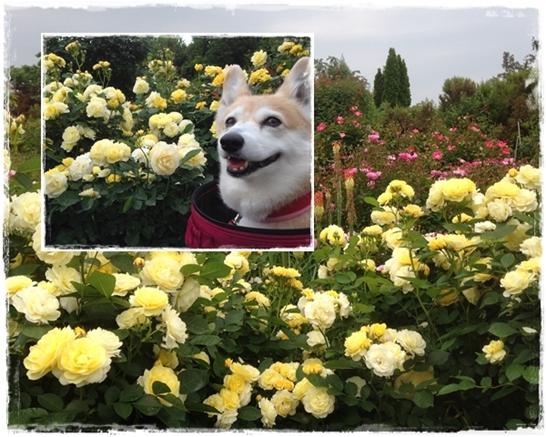 バラ祭り1
