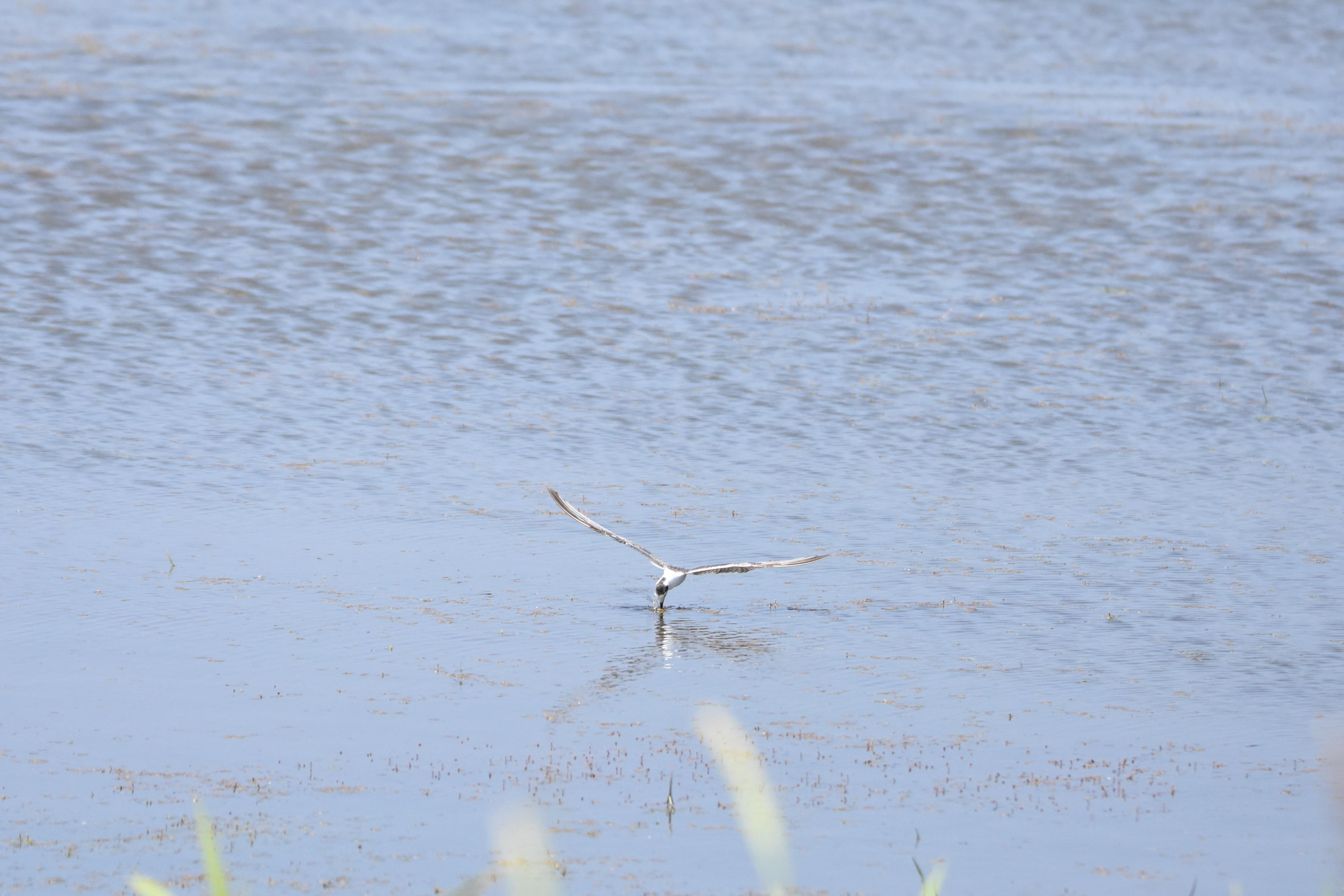 ハジロクロハラアジサシ 採餌