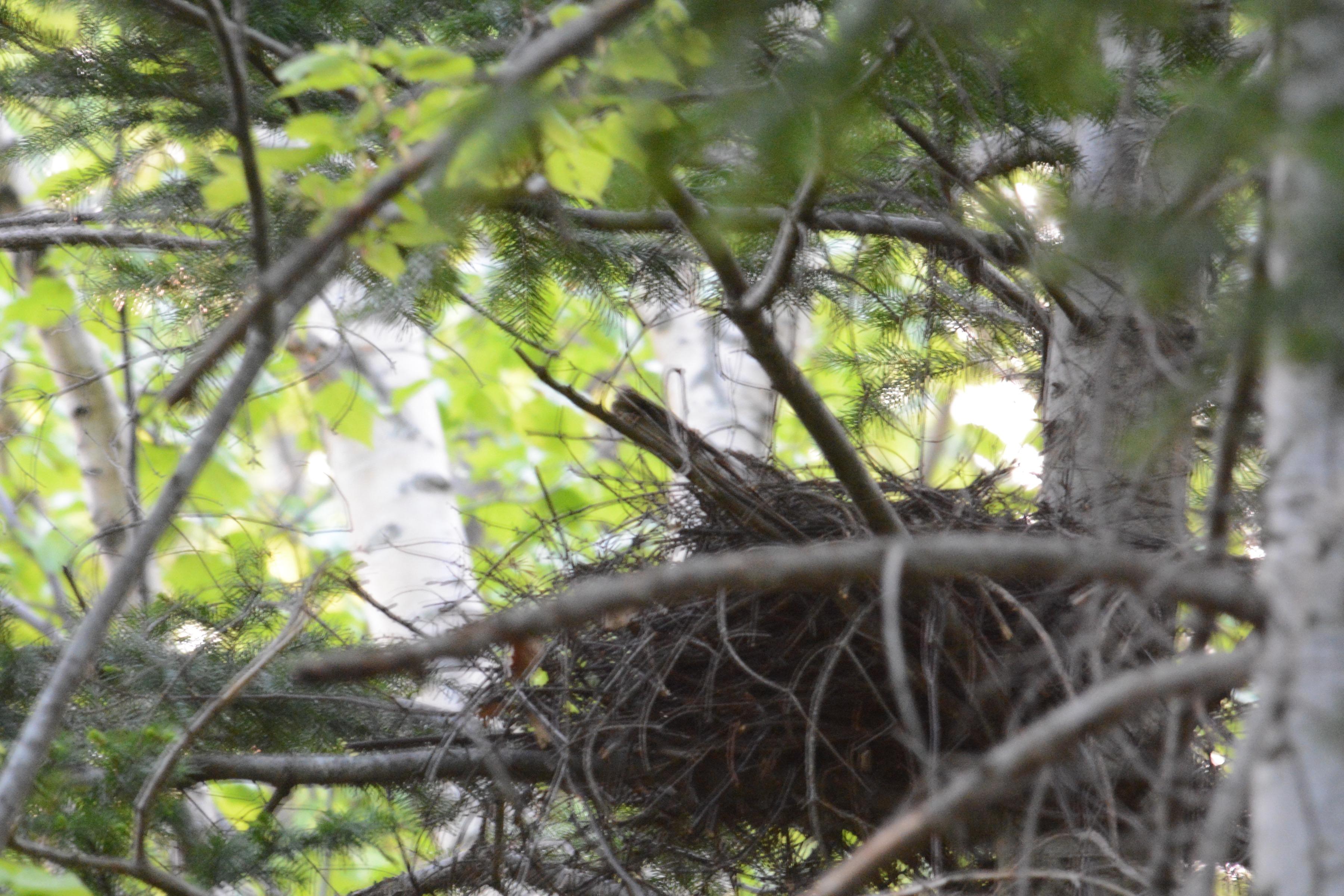 ハイタカの巣