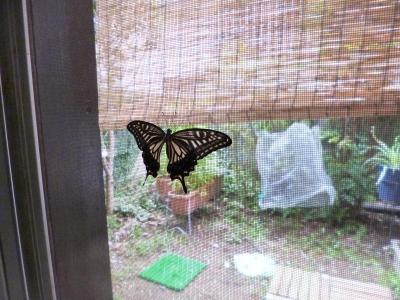 アゲハ蝶誕生