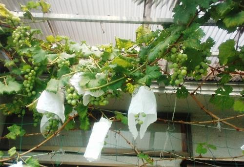 ご近所さんのブドウ