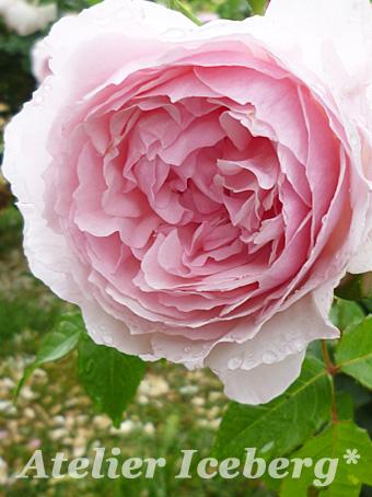 rose2014_06.jpg