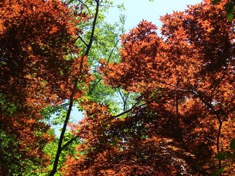 「ノムラカエデ ~春の紅葉の様子」