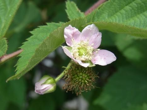 「ブラックベリー ~蕾・花・若い果実」