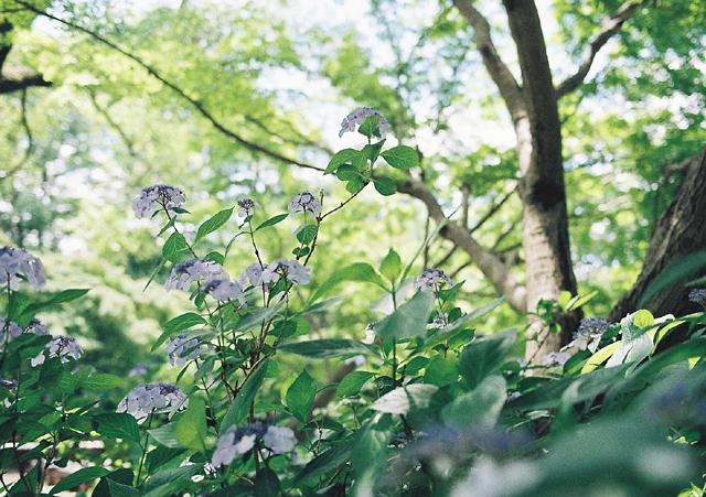 やっぱりこーゆー紫陽花が好き