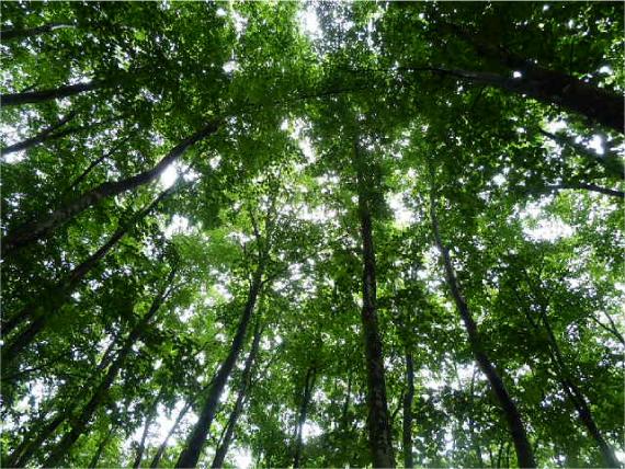 木漏れ日ブナ林